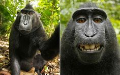 Crested black macaque #monkey #primate #macaque
