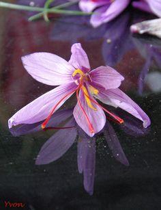 Crocus flowers in th