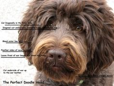how to groom a labradoodle face - Google Search More