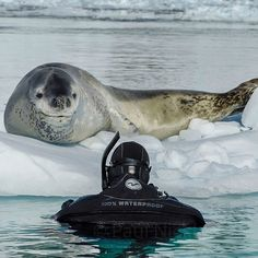 That incredibly humbling moment when the ocean currents brought a sleeping leopard seal and I into close proximity.  The seal lifted its head for a second and then immediately went back to sleep.  I love being in the company of wildlife that have this level of confidence where they know that I am not a threat and not worth a second look.  Leopard seals have been the villain portrayed in almost any film that has to do with #antarctica.  It is my lifes work to dispel these myths and portray…