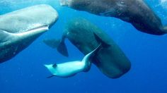 RELYING ON THE KINDNESS OF STRANGERS:    Deformed Dolphin Accepted Into New Family ---- Lone dolphin with spinal deformity, separated from its family, travels among a group of sperm whales.