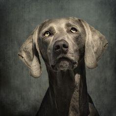 Heavenly. #dog #weimaraner