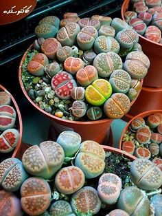 """Lithops - (commonly called """"flowering stones"""" or """"living stones"""") are true mimicry plants: their shape, size and color causes them to resemble small stones in their natural surroundings. The plants blend in among the stones as a means of protection. Grazing animals which would otherwise eat them during periods of drought to obtain moisture usually overlook them. Even experts in the field sometimes have difficulty locating plants for study because of this unusual deceptive camouflage."""