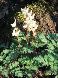 Wildflowers for Shade Dicentra cucullaria Dutchman's Britches