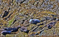 Featured Art - REsting Sea Lions by Allen Beatty