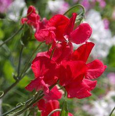 Karminrote Edelwicke Lathyrus odoratus 'Grandiflora Queen Alexandria'