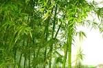 bamboo - Google Search