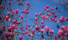 Magnolioa flowers-- bloom in the gardens of Tregothnan Estate in Cornwall. The first flowering of the Magnolia campbellii trees, found in several of the great gardens of Cornwall, marks the true start of spring in England. Photograph: Jim Wileman/PA
