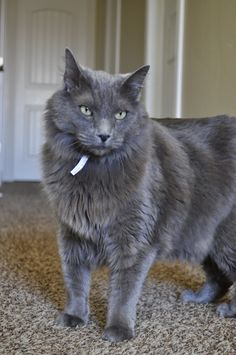 Our Nebelung, Sancho. Such a good boy