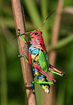 Costarican grasshopper.... awesome beauty!