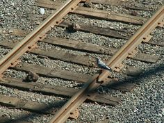 Pidgen I saw on the way home, he was having an adventure. #photography #skills #MAA #photo
