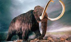 Cada vez más cerca del mamut lanudo: Científicos logran insertar su ADN en células de elefante. http://www.explora.cl/noticias-nacionales/4390-cada-vez-mas-cerca-del-mamut-lanudo-cientificos-logran-insertar-su-adn-en-celulas-de-elefante