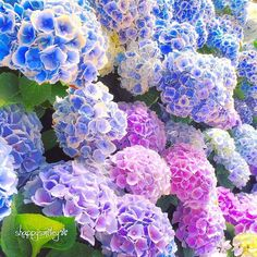 Садовая гортензия просто очаровательна! #красота #цветы #сад #гортензия #ландшафт #дизайн #дача #декор #природа #flowers #nature #love #beauty #amazing #blossom #hydrangea #garden #jardin #gardening #landscape #design #blue #violet #pink by green_land_ru