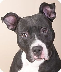 Pictures of King a American Staffordshire Terrier/American Pit Bull Terrier Mix for adoption in Chicago, IL who needs a loving home.