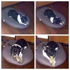 #CostantinoVitagliano Costantino Vitagliano: Buongiorno e buon inizio settimana da #Tac... #bulldogfrancese #frenchbulldog #dog #puppy #love #truelove #goodmorning #casavitagliano #milanomarittima