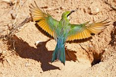 Swallow-tailed Bee-eater at her nest in the Kgalagadi Transfrontier Park, Kalahari Desert, South Africa: Photographed by Shane Saunders  (Cape Town, RSA)