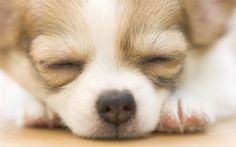 Chihuahua Puppy Sleeping wallpaper