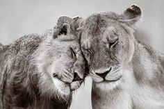 The Strongest Bond by Tom Way. The Perfect Moment category; Adult runner up. Photo by Tom Way. ZSL Animal Photography Prize 2015 – Fubiz Media