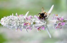 Mehiläinen, Eläinten, Hyönteinen, Hunaja, Luonne