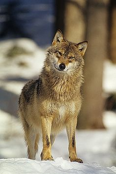 Eurasian wolf in Bavarian National Forest Park, Germany