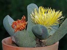 Resultado de imagen para cactus raros