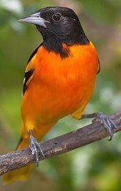 Bilderesultat for orange bird + pinterest