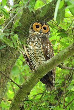 ⊙_⊙corujas - Spotted Wood #Owl  (Strix seloputo)
