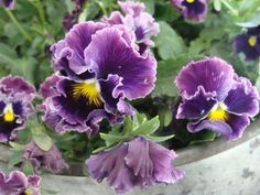 Daffadowndilly's....Love the frilly edges on these pansies!!!