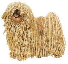 Hungarian Puli The Puli is a small-medium breed of Hungarian herding and livestock guarding dog known for its long, corded coat. The tight curls of the coat, similar to dreadlocks, make it virtually waterproof. Wikipedia