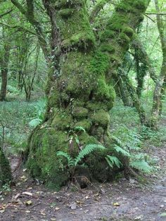 Druids Trees: The Old Man of Ilston Woods, Ilston, Gower Peninsula, Wales. Gower Peninsula, Tree People, Forest People, Tree Faces, Old Trees, Old Paintings, Green Man, Tree Art, Tree Of Life