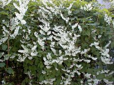 In the grab bag; planted in obelisk. Silver Lace Vine, Center Hall Colonial, Flora Flowers, Coastal Gardens, Clay Soil, Foliage Plants, New Leaf, Trellis, Perennials