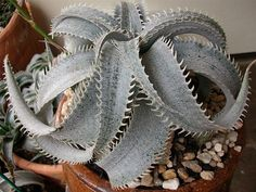 Dyckia marnier-lapostollei (White Dyckia) is a slow-growing plant with mostly solitary, stemless rosettes, up to 10 inches cm) in. Succulent Terrarium, Cacti And Succulents, Planting Succulents, Cactus Plants, Cacti Garden, Blooming Succulents, Cactus Seeds, Cactus Art, Green Plants