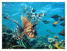 Lion fish, Lord Howe Island, Australia, April 2009 by Ignacio Palacios on 500px
