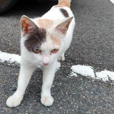 ナンバープレートをくんくん  今朝はみけのらちゃん車のナンバープレートをくんくんしてました おはよと近づいてしゃがんだらこちらへ来てくれた けど怖いねすぐ車の下へ  またねー  #猫#cat#三毛猫#みけのらちゃん#のらちゃん #野良猫
