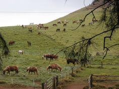 Parker Ranch, Kamuela (Waimea), Big Island of Hawaii