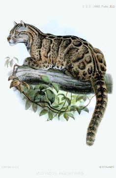 Beautiful Feline: Extinción del Tigre Nublado...!!