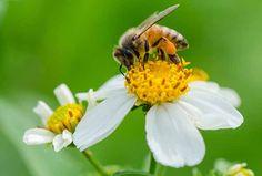 Polline: proprietà, benefici, controindicazioni, come assumerlo