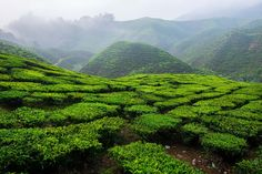 Tea Highland by Carlo Murenu on 500px