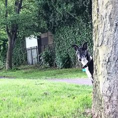 Its not all about the art. Heres A photo of Logan Dog playing peekaboo. Logan has been to more art studios art openings and art fairs than most of my students. Hes not a art lover though he prefers the park or the beach. #dogsofinstagram #whippetsofinstagram #whippetcollie #whippetcolliecross  #logan #hunting #huntingsquirrels #dog