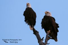 1022PS Mated Pair of Bald Eagles.  Female on the right, male on the left. - By the Androscoggin River - Milan, NH 12-04-16