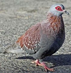 Speckled Pigeon  3