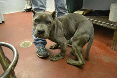 Justice for Gargoyle, Dog Squashed Up in a Small Enclosure by Owner!