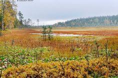 Suomaisema - neva suo suomaa avosuo Siikaneva Pirkanmaan suurin soidensuojelukohde syksy lokakuu mänty heinä suokasvi suokasvillisuus kitukasvuinen sammal