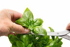 Pruning Basil, Big Leaves, Pesto Sauce, Productivity, Lush, Harvest, Herbs, Vegetables, Tips