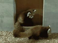 funny-gif-red-panda-jump-playing