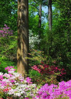 Azalea Hillside, National Arboretum, Washington, D.C. by school40, via Flickr