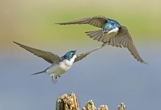 The popularity of the bluebird has been a boon to the Tree Swallow, which nests in holes of exactly the same size, and has taken advantage of bluebird houses over much of North America. In regions with no such ready supply of artificial nest sites, the swallows must compete with other cavity-nesting birds, arriving early in spring to stake out territories. Unlike other swallows, Tree Swallows eat many berries (especially bayberries), allowing them to survive through wintry spells when other…