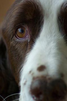 So much behind those eyes...I love Springers:)