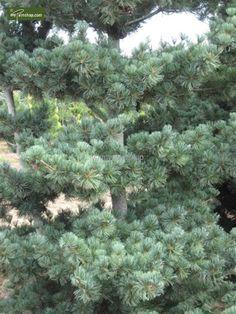 https://www.gardenpalms.com//Userfiles/FotosProdMP/Pinus parviflora Tempelhof