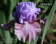 Iris NEW FACE (Paul Black 2008) Tall bearded iris at Stout Gardens Dancingtree